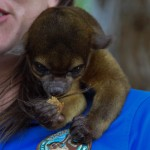 Kaya the Kinkajou is a rainforest mammal related to the raccoon family of Central and South America.